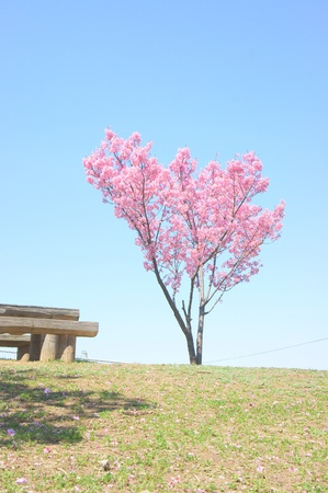 japanese flower sakura photo