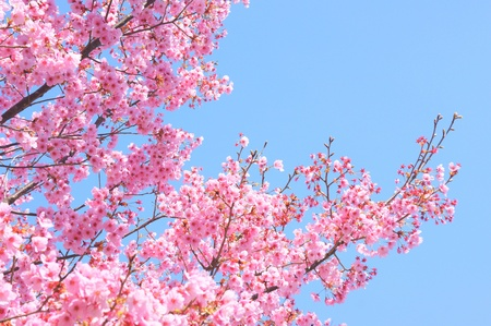 japanese sakura Stock Photo - 11293394