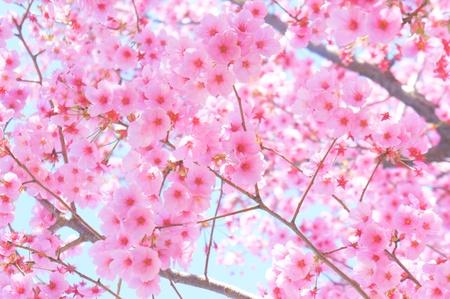 Japanische Kirschbl�te