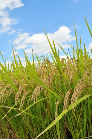 economic botany: ear of rice and blue sky Stock Photo
