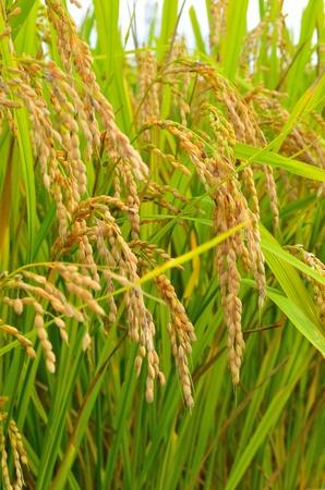 rice paddy: ear of rice Stock Photo