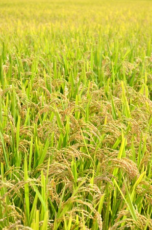 economic botany: ear of rice  Stock Photo