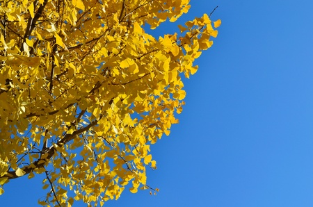 Autumnal yellow color of Japanese Ginkgo leaves photo