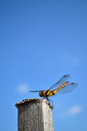 Dragonfly in sky Stock Photo - 13618338