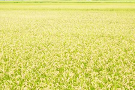 paddy: Rice field