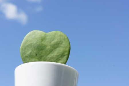 heart-shaped plant Cactus photo