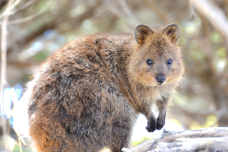 Quokka watching here with his tiny hands