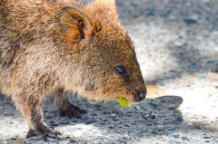 Quokka eating leaves