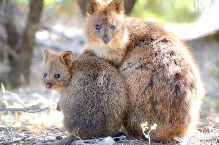 Mother and child of Quokka watching here Stock Photo