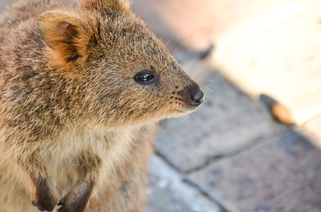 Quokka that seems to think something