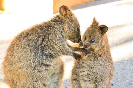 Quokka takes communicate with each other
