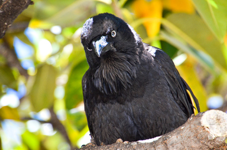 australian raven is looks genius