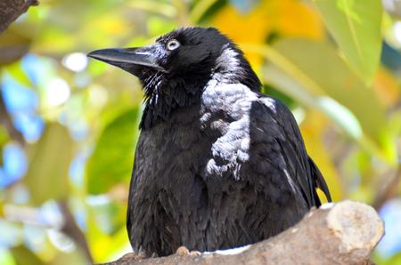 cute australian raven