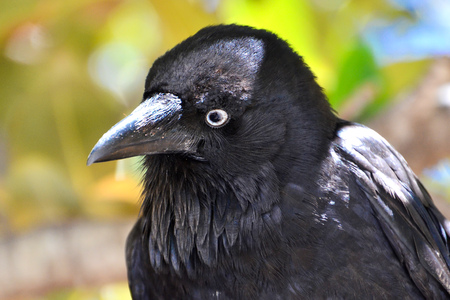 gentle eyes of australian raven Stock Photo