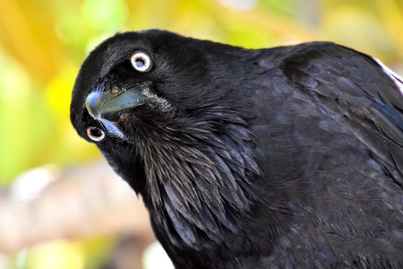 great mustache of australian raven