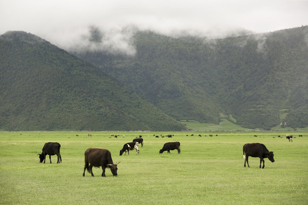 cattles grazing in the grassland photo