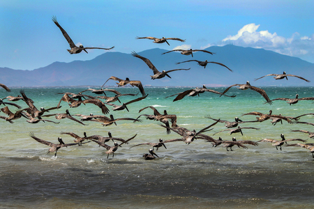 Silver pelicans in Venezuela Stock Photo