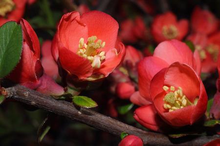 Ornamental shrub - spring flowering