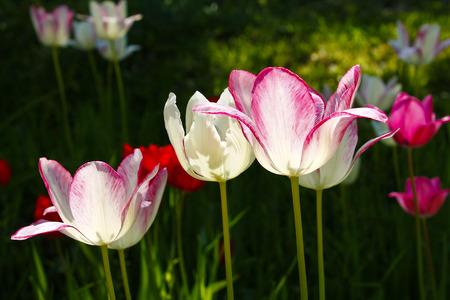 Тюльпан - цветник