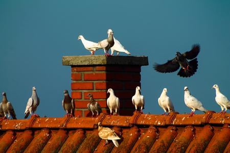 Pigeons - Freedom Stock Photo