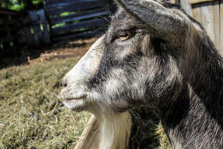 Goat portrait - Farm life