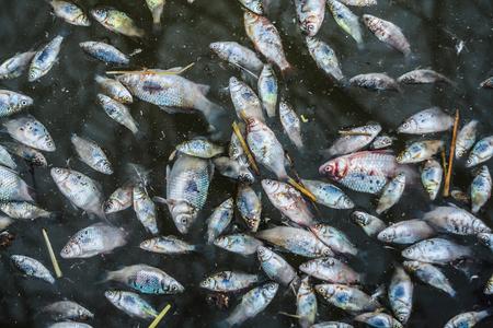 Peces muertos - peces envenenados - contaminación por cianuro