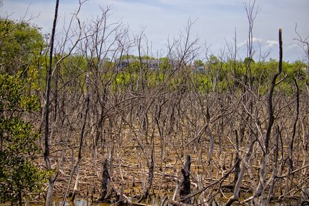 Scenery of mangrove forests that die and rot.