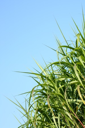 Reeds against a blue sky. photo