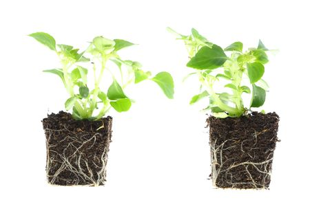 rooted: Impatiens baby plants with roots on white. Stock Photo