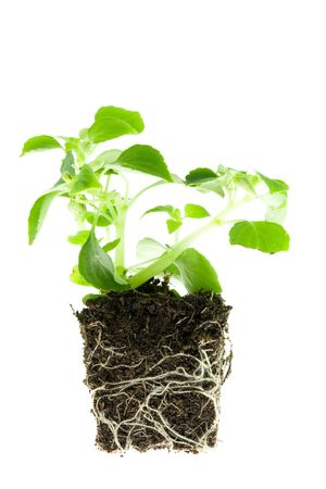 rooted: Impatiens baby plant with roots on white.