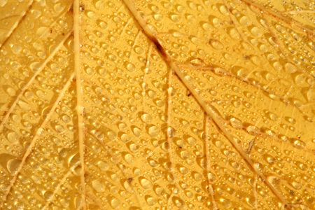 Bright, yellow leaf with drops for background. photo