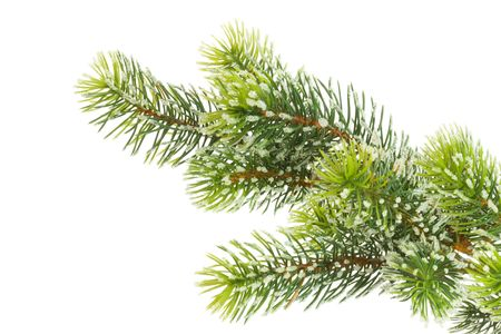 Part of fir branch on a white background. photo