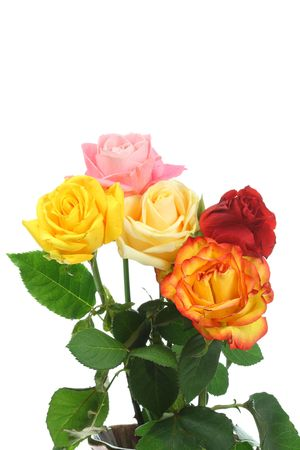Five roses on a white background.