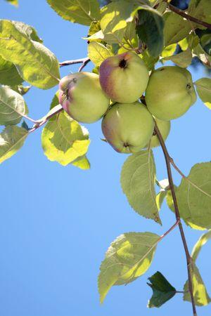 Ripe apples against blue sky. photo