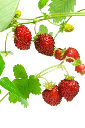 Wild strawberries isolated on a white background. Stock Photo