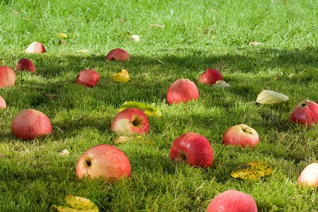 Fallen apples in the garden
