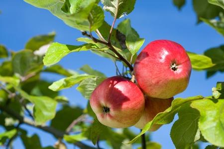 Ripe apples against blue sky.