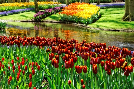 Colorful Tulips in Keukenhof Gardens.