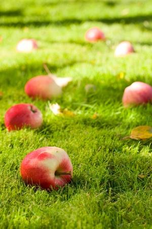 fallen fruit: Fallen apples in the garden.