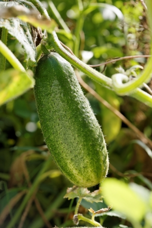Ripe cucumber on the vine in a garden bed.