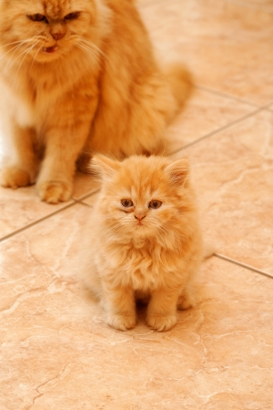 Cute persian kitten and a strict mother cat. Stock Photo