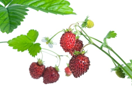 strawberry plant: Wild strawberries isolated on a white background. Stock Photo