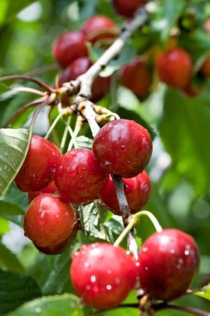arbol de cerezo: Cerezo con las cerezas maduras