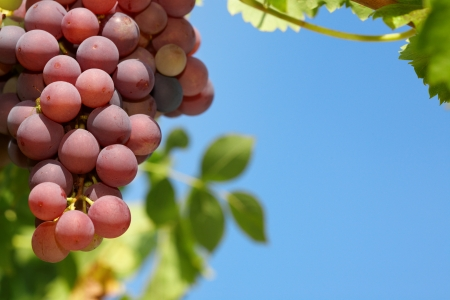 Red grapes on the vine. Imagens