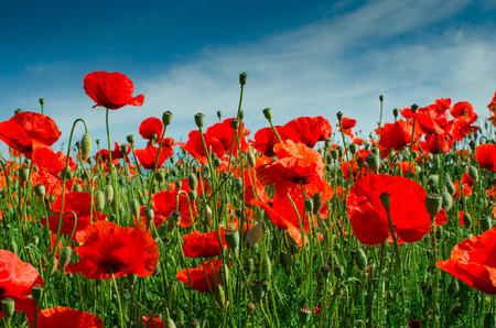 Opium poppy  Papaver rhoeas, field of opium Stock Photo