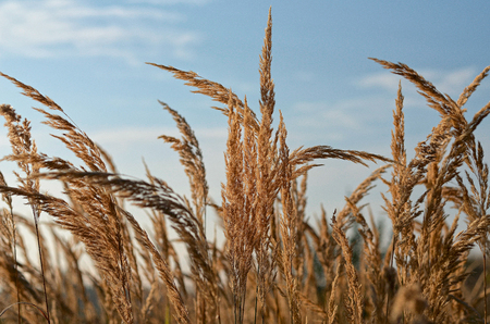 deatil: Gras spike in deatil with blue sky on the background