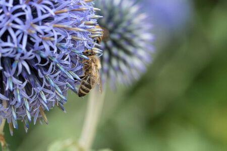 Detail of bee on garlic in bloom