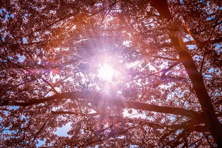 Sun rays go through blooming sakura trees in the spring in sunny day