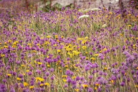 Muntain meadow with wild garlic and dandelions near Triglav lakes lodge