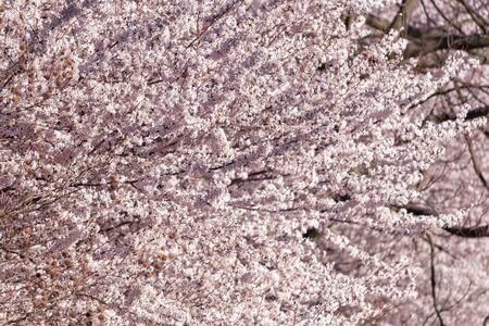 Blooming sakura trees in the spring in sunny day